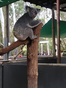 One of the most notable Australian animals: the Koala bear (Photo provided by Erica Naugle)